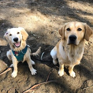Happy and Boodha had a training play date today! It was golden ☀️
